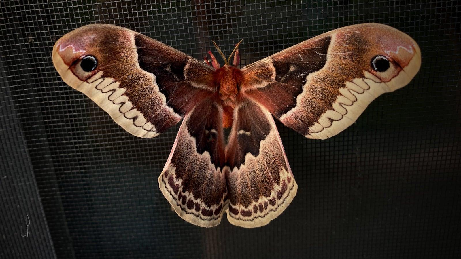 Papillon de nuit / Luc Pallegoix, 2020
